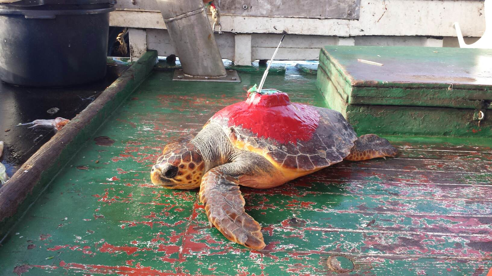 Sea Turtle Tagged With A Satellite Transmitter