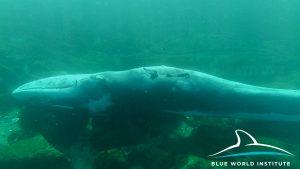 Dead fin whale near Lošinj, 24 Jan 2018