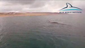 Fin whale near Rovanjska bay, 6.1.2017.
