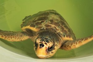 Loggerhead sea turtle in the rescue pool